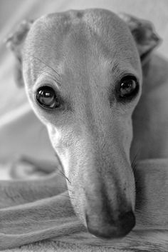 Whippet by Hot Dog Photography