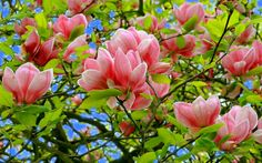 J'adore les magniolas si j'ai un jardin j'aurai un magniolas
