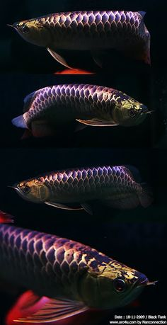 Dragon Fish Arowana