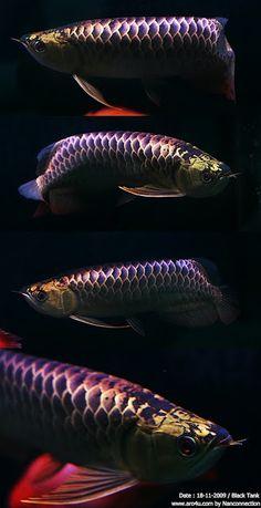Dragon Fish Arowana
