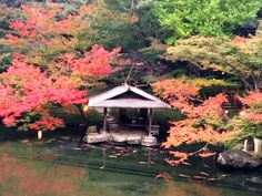 #momiji, #maple, #pond, #carp, #autumn leaves,