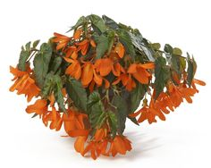 """Begonia Waterfall® Encanto Falls®--Best in part sun but tolerant of many light exposures. Gorgeous basket specimen that lends itself well to mixing with other genera.    This stunning fiery new Begonia from Beekenkamp has outperformed other basket types now for two years in our trials. Easy to grow with strong roots. A must have!  Encanto® Orange looks great with blue and yellow flowers and dark accents --Plant details:   Height:Up to  18"""" Spread:Up to  20"""" Color: Orange"""