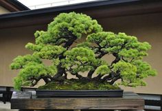 A Guide To Bonsai Trees For Beginners Bonsai Tree Ideas. The art form of bonsai can be a wonderful and unique hobby. Viewing and taking good care of a bonsai collection can be a relaxing and peaceful daily job. The Read Bonsai Acer, Buy Bonsai Tree, Flowering Bonsai Tree, Bonsai Tree Care, Bonsai Tree Types, Indoor Bonsai Tree, Bonsai Trees, Juniper Bonsai, Pine Bonsai
