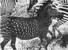 This pic was taken in 1912 when a zebra with white spots and black hair was seen. The normal zebra is white with black stripes. This is the only known specimen to ever be seen with this condition