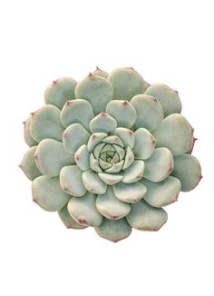 Echeveria minima, native to Mexico, is a miniature Echeveria with tiny rosettes of very chubby, frosty blue leaves. Leaves are frosty rose at tips