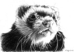 Charcoal ferret portrait.