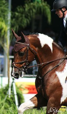 Pinto warmblood