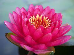 Nymphaea 'Manee Red' Hardy Waterlilies  |  บัวฝรั่งสัญชาติไทย 'มณีเรด'