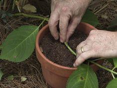 Hydrangea Macrophylla, Flowers, Plants, Gardening, Lawn And Garden, Hydrangeas, Plant, Royal Icing Flowers, Flower