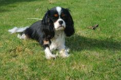 Miss Milla at Home - Tricolor Cavalier King Charles Spaniel