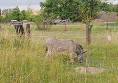 Der Esel als Besucherliebling im Bauerngarten Parbus darf bei keiner Gartenführung fehlen. Horses, Animals, Donkey, Farmhouse Garden, Animales, Animaux, Horse, Animal, Animais