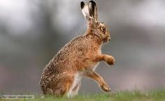 Image result for images of hares