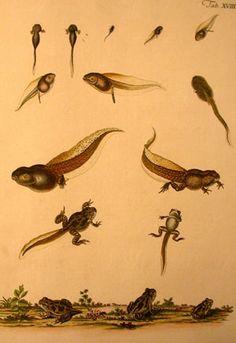 tadpole evolution