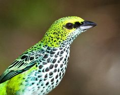 The Speckled Tanager (Tangara guttata) is a medium-sized passerine bird. This tanager is a resident breeder in Costa Rica, Panama, Trinidad, Venezuela, Colombia and the extreme north of Brazil.