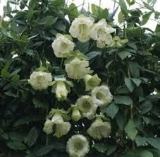 Kuvahaun tulos haulle cobaea scandens white