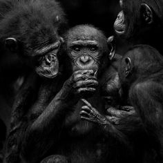 Entries feed for dmitry_migunov Monkey See Monkey Do, Ape Monkey, Los Primates, Le Zoo, Planet Of The Apes, Chimpanzee, White Image, Sea Creatures, Belle Photo