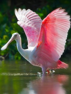 Roseate spoonbill at Ding Darling National Wildlife Refuge on Sanibel Island, Florida • photo: Keith Carver on Flickr