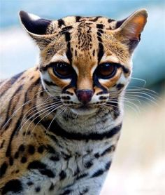 """The Margay (Leopardus wiedii) is a spotted cat native to Middle and South America. Named for Prince Maximilian of Wied-Neuwied, it is a solitary and nocturnal animal that prefers remote sections of the rainforest. Although it was once believed to be vulnerable to extinction, the IUCN now lists it as """"Near Threatened"""". It roams the rainforests from Mexico to Argentina."""