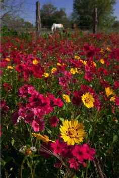 There is perhaps no better place on earth to be than in Texas at springtime.  Picture courtesy of Texas Highways Mag.