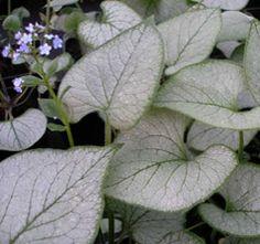 Odrody | Heuchera.sk - Váš obchod s rastlinami Heuchera, Jack Frost, Plant Leaves, Plants, Plant, Planets