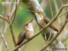 Glow-throated Hummingbirds (Selasphorus ardens) endemic to Panama