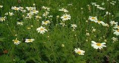 Rmen rolní signaliuje příliš kyselou půdu, na podzim nezapomeňte záhony provápnit!