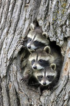 beautiful-wildlife: Raccoon Trio by Jurgen & Christine Sohns