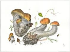 http://www.pelcor.com/mushrooms/PagesOriginals/Leccinum versipelle III Or.html