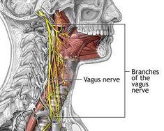 Vagus_nerves