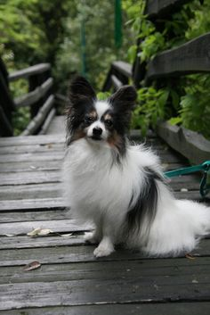 Papillon outside