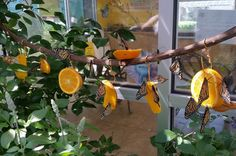 Butterfly Fruit Feeding Station | a piece of grapevine wood from the Backwoods Nature Preserve, and created hooks with some heavy gauge copper wire. Fruit is changed daily, and includes oranges, mangoes, guavas, and bananas. MOSI Outside