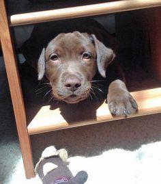 Kona the Labrador Retriever