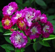 Perennial's Blue Très remontant, floraison 06-09, haut 350cm Résistant aux maladies http://www.danielschmitz-roses.com http://filroses.com