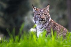 Eurasian lynx by juergen0612 #animals #animal #pet #pets #animales #animallovers #photooftheday #amazing #picoftheday