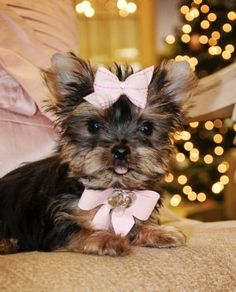 this yorkie is so freakin adorable. I want one so bad. Cute Puppies, Cute Dogs, Dogs And Puppies, Cute Babies, Schnauzers, Beautiful Dogs, Animals Beautiful, Yorkies, Shih Tzu