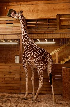 She is probably the only internet sensation in Harpursville, N.Y., a hamlet of about 3,500 people in the Southern Tier region: April, a very pregnant giraffe, whose livestream video has attracted millions of viewers.