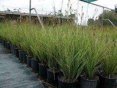 carex brunnea Garden Inspiration, Indoor Plants, Inside Plants