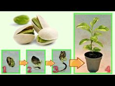Gardens Discover pistachio give birth to a seedling at no cost Growing Fruit Trees Potted Trees Succulents Garden Permaculture Fruits And Vegetables Pistachio Garden Projects Indoor Garden Vegetable Garden Herb Garden Planter, Succulents Garden, Garden Plants, Planting Flowers, Fruit Garden, Regrow Vegetables, Home Grown Vegetables, Planting Vegetables, Growing Fruit Trees