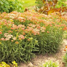 Yarrow... it's beautiful and tough. In fact, this is one of the most maintenance-free perennials you can grow: It resists heat, drought, deer, and rabbits.  It's also a blooming machine, producing flat-topped clusters of yellow, orange, red, pink, or white flowers throughout the summer.   Zones 3-9