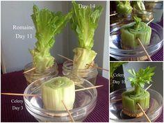 Bases de lechuga o apio, ambos vegetales pueden volver a brotar de sus bases colo con añadirles agua