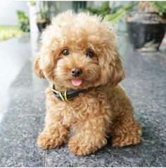 That face! Adorable Little Baby Apricot Toy Poodle
