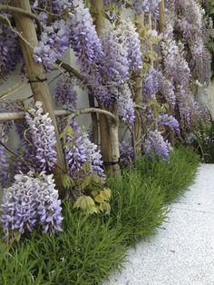 Wisteria sinensis, Lavandula angustifolia, Agata Byrne, award winning garden designer, landscape architect, coastal residential garden, Sandycove, Ireland, May 2014
