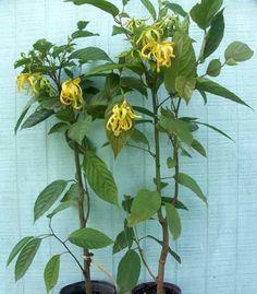 growing ylang ylang tree