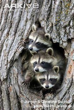Young northern raccoons in a tree hollow