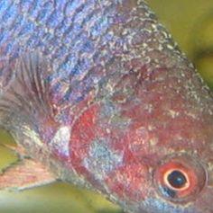 47 Best Fish Disease Images Aquarium Aquarium Fish Aquariums