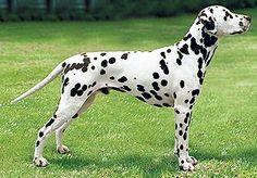 Youngest champion #Dalmatian 'Richie' dies