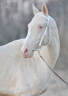 Stallion akhalteke Tesla (Gornostai-Bifa) 2010 y.b. line Sere, cremello