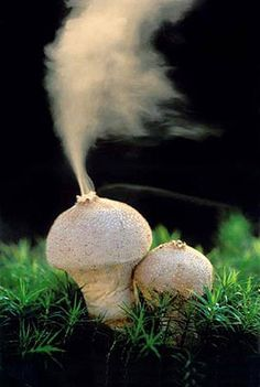 Lycoperdon perlatum ejecting spores - commonly known as Puffball mushroom