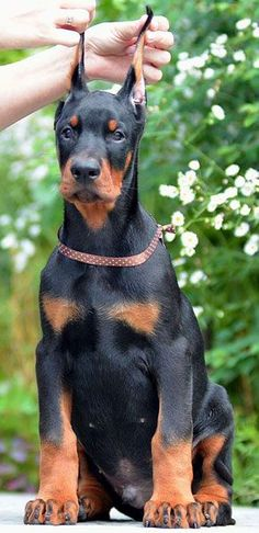 male #doberman #puppy for sale - www.sierradobiefarms.com