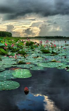 Rain falling on the lily pads such as in the novel I'm currently writing, Veiled at Midnight.  www.christinelindsay.org